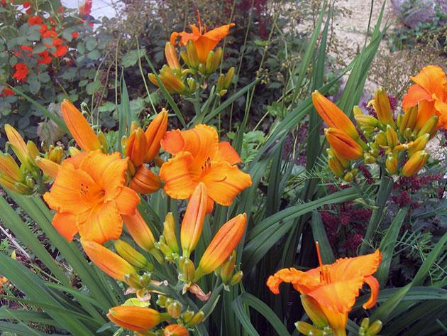 Оранжевые лилейники в саду