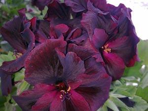 Темно-фиолетовая королевская пеларгония