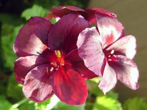 Цветки королевской пеларгонии