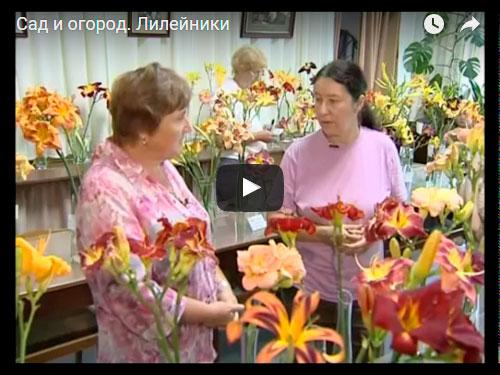 Виды и сорта лилейников